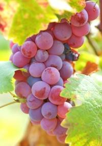 As uvas,  ricas em potássio e antioxidantes, podem ser armas para combater a pressão alta