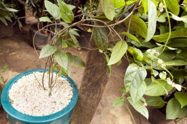 Como plantar trepadeira